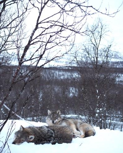 wolven noorwegen