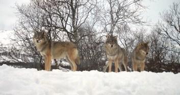 wolven buiten lodge