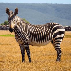 Zebra de hoop zuid afrika