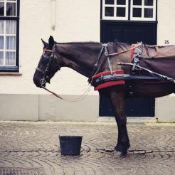 brugge paarden