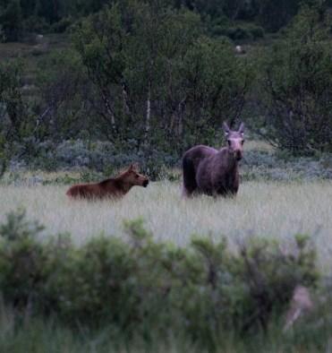 elanden safari noorwegen