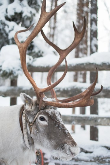 lapland rendier