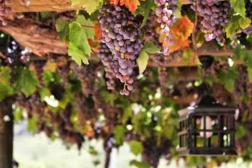 Wijn kroatie