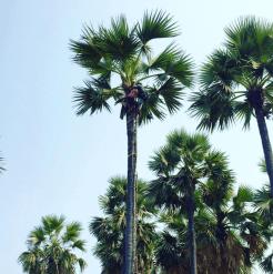 palmbomen myanmar bagan