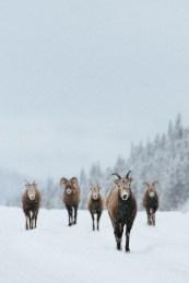schapen canada winter