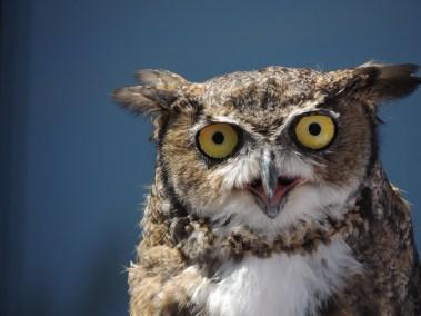 Great Horned Owl taken by A. Wier
