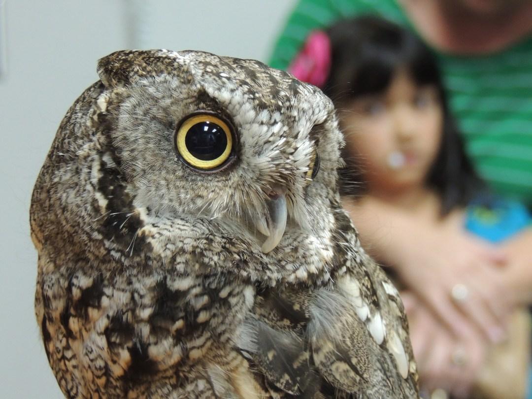 Screech Owl taken by A. Wier