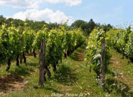Renaissance des vignobles nivernais Nièvre Passion