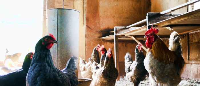 Spice Up your Chicken Keeping for Better Flock Health
