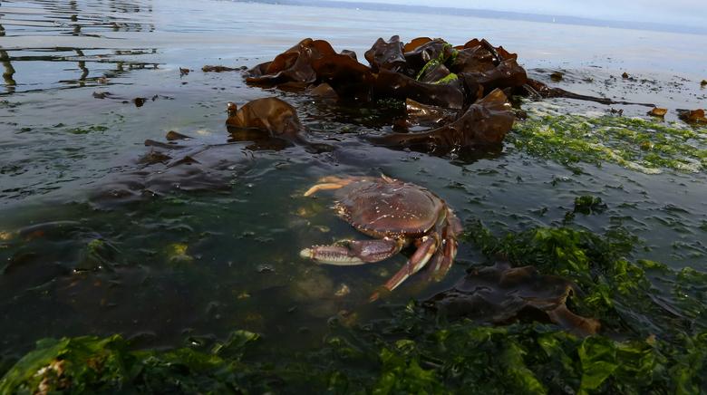Pacific Ocean`s astringency dissolving Dungeness crabs` shells