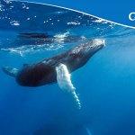 Programme Whalesafe : Costa Croisières s'engage pour la protection des cachalots