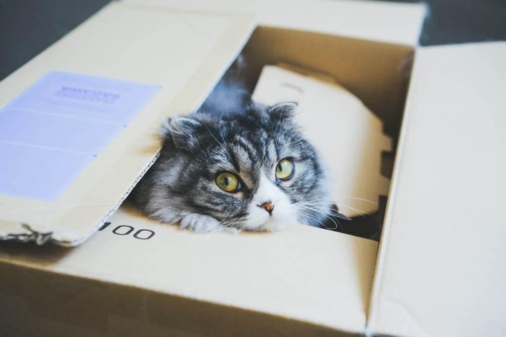 ダンボールから顔を出す猫(スコティッシュフォールド)