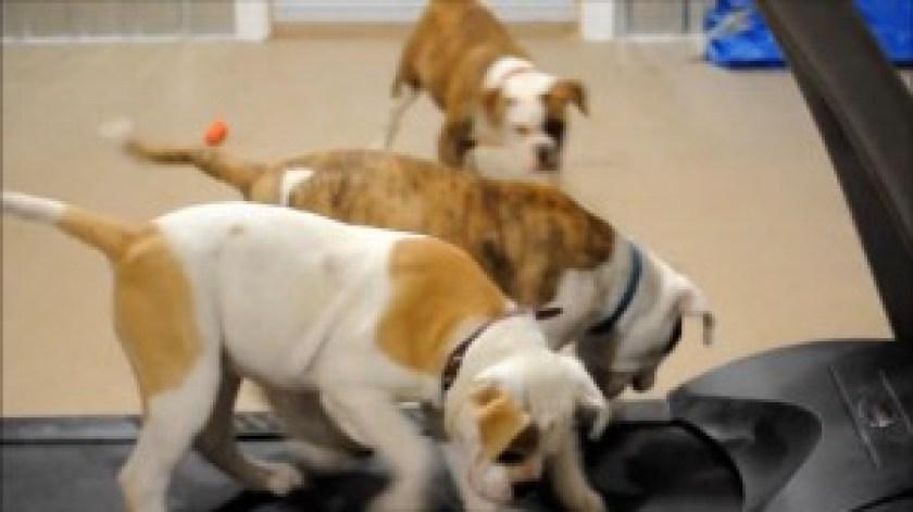 bulldogs-on-parade-post