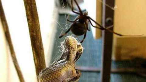african-spider-eats-a-snake03