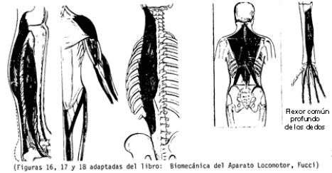 cual es el musculo mas corto del cuerpo humano