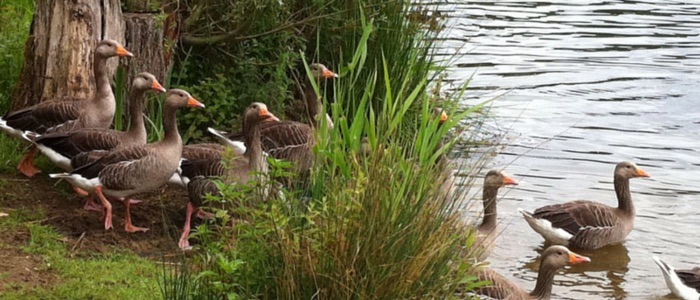 Geese on a Norfolk river