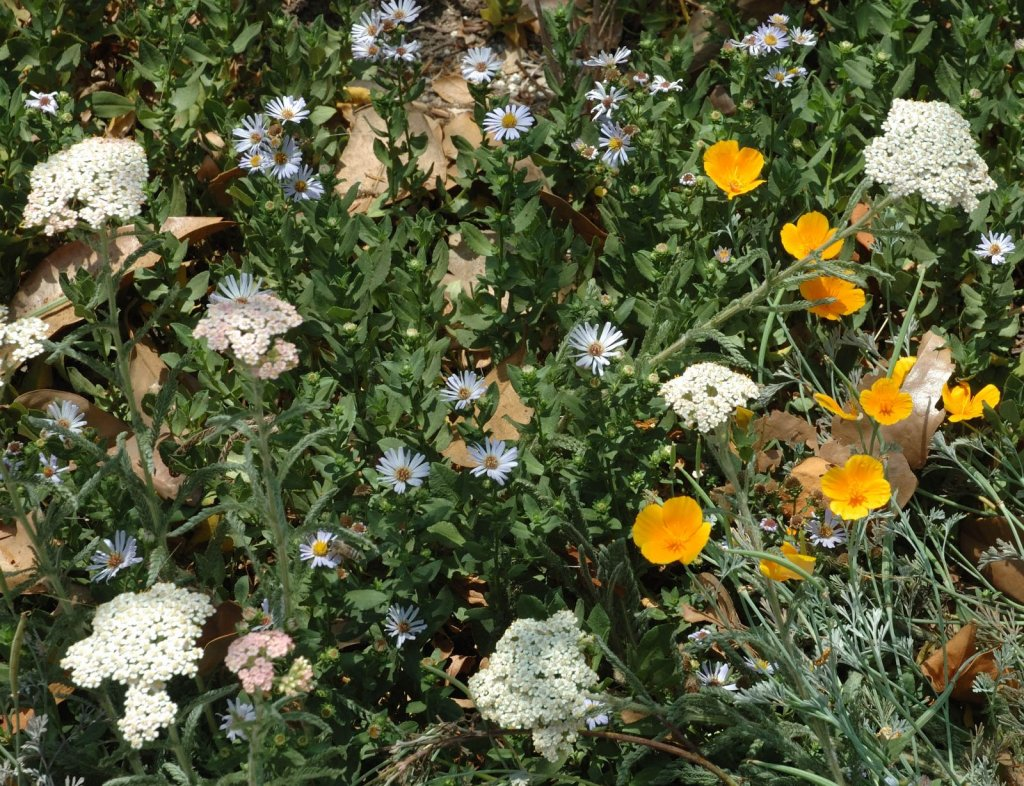 Achillea millefolium, Aster chilensis 'Point St. George' and Eschscholzia californica