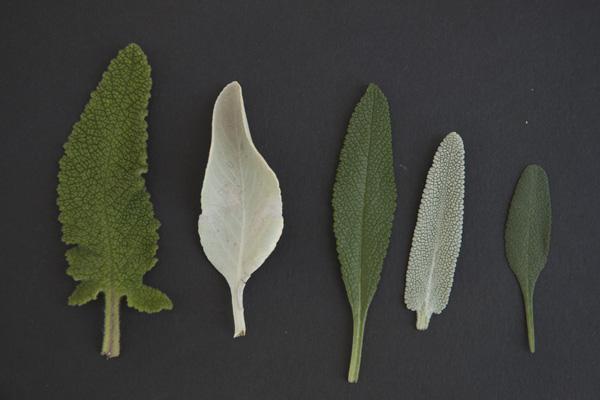 salvia leaves