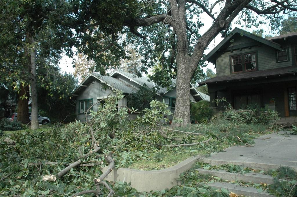 Avocado after windstorm, 2011