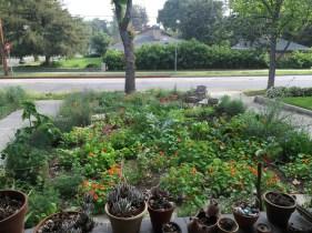 Veg garden, around 11 weeks old