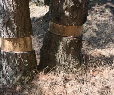 Girdling trees to make room for garry oak ecosystem.