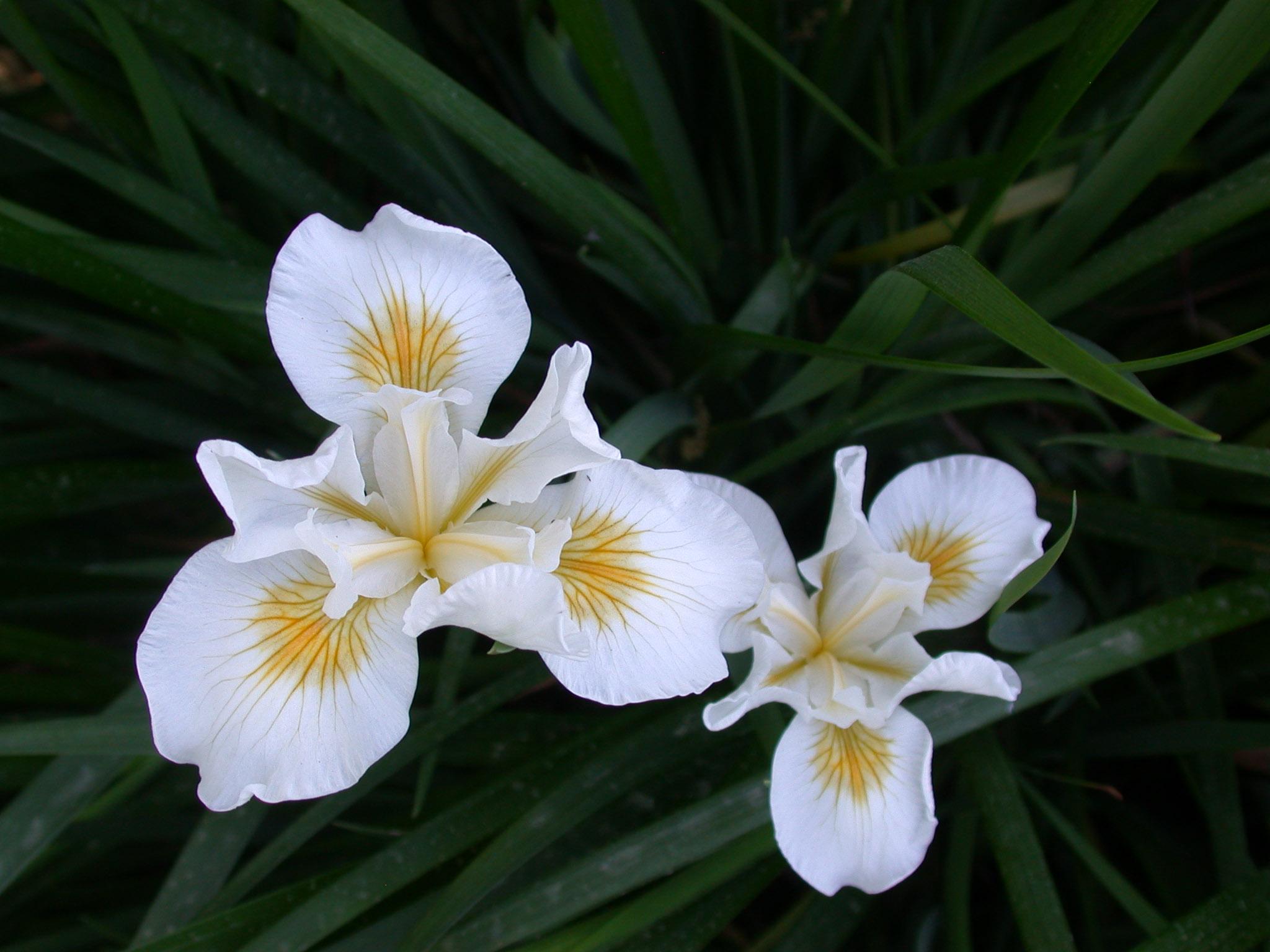 Canyon Snow Douglas iris