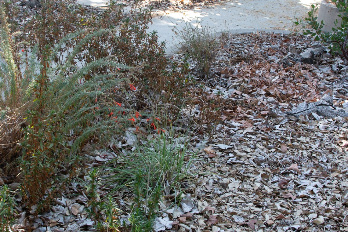 sticky monkeyflower, deergrass, CA fuchsia