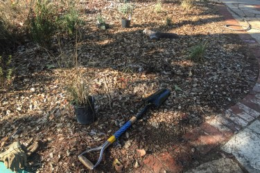 Planting new deergrass on the east side of front yard