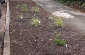 Native grasses and shrubs planted in parkway