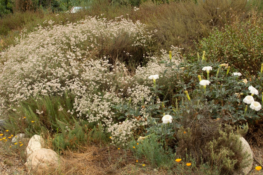 CA buckwheat and datura
