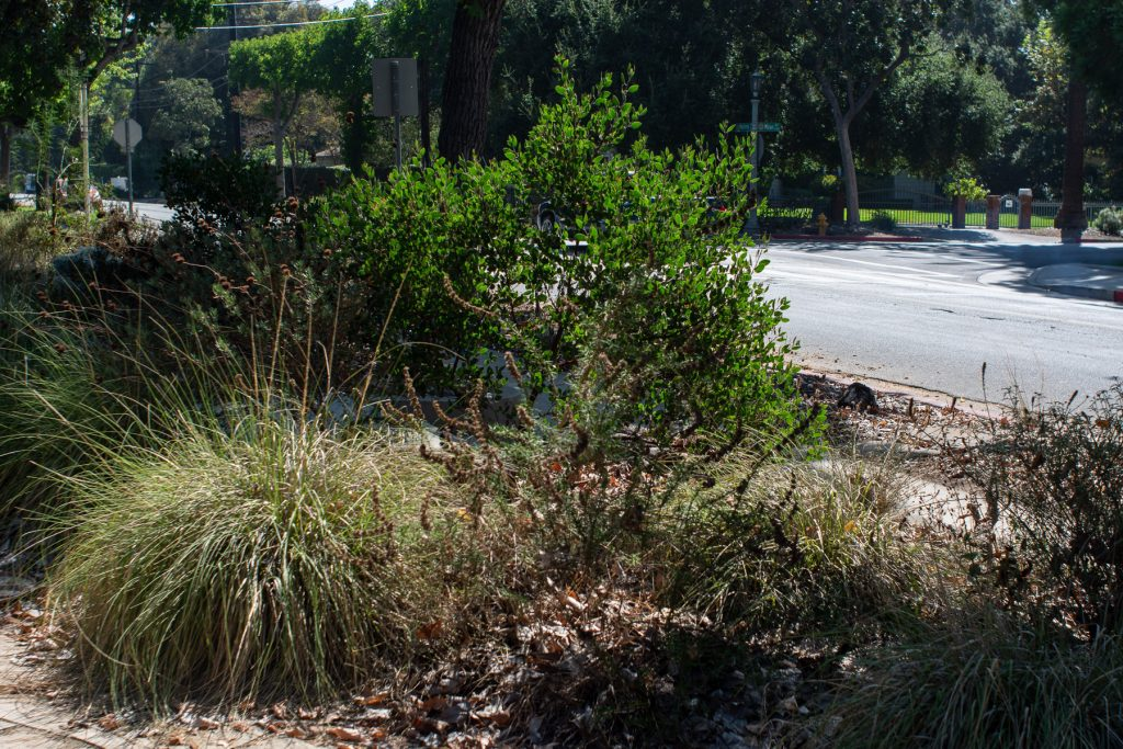 Deergrass and manzanita stay green through the summer