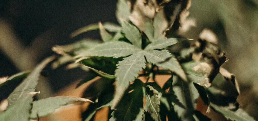 Nimbin Weed Australia