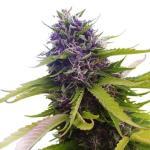 Cannabis Seeds NZ