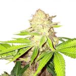 weed seeds nz