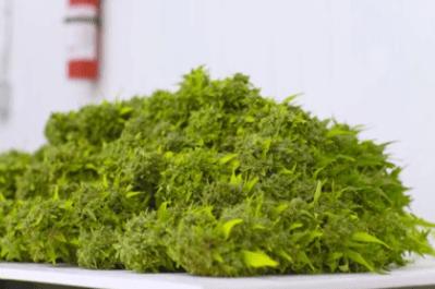 dessicant drying cannabis nz