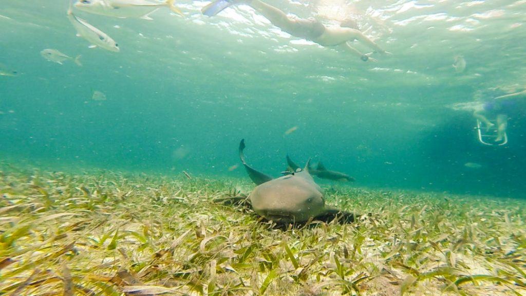 Shark: Snorkelling in Caye Caulker
