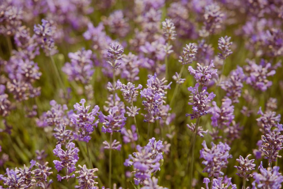 Jess Lavender Shoot - 301