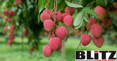 Litchi trading goes on full swing
