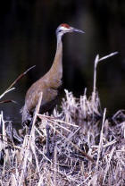 picture of  Sandhill Cranes