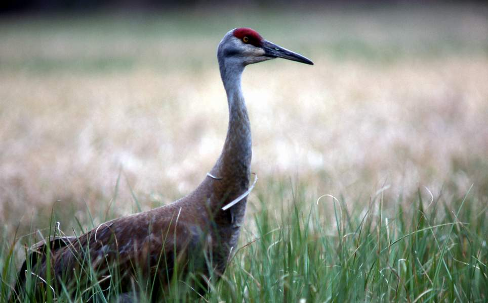 Sandhill Cranes courtship display sequence_ J Schmidt - nps