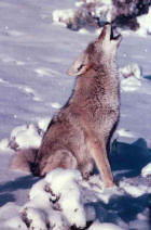 Picture 3: coyote howling in snow