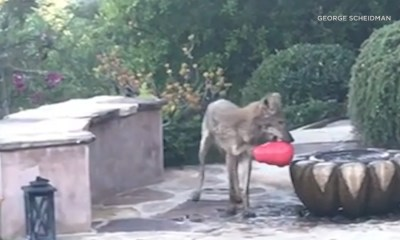 Silver Lake residents hope to help coyote spotted with toy lodged around jaw