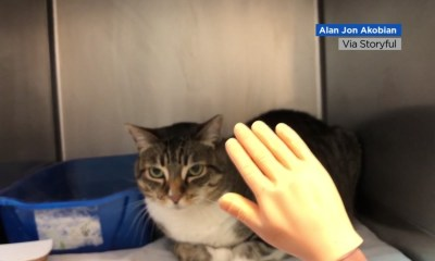Cat likes to be petted by a tiny novelty hand