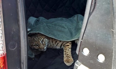 Colorado driver puts injured bobcat in car next to 3-year-old son