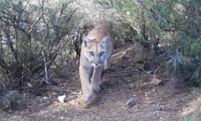 P-65 Second Collared Female Mountain Lion To Cross 101 Freeway
