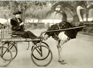 Ostrich farms were the amusement parks of their day in Southern California. This 1886 photo shows a visitor getting a vintage version of a thrill ride at the Cawston Ostrich Farm in South Pasadena, a popular trolley car stop on a line built by Moses Sherman. (Photo Credit: ImageArchaeology.com