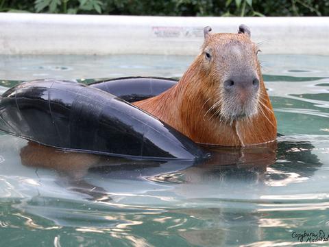 Chillin, capybara-style