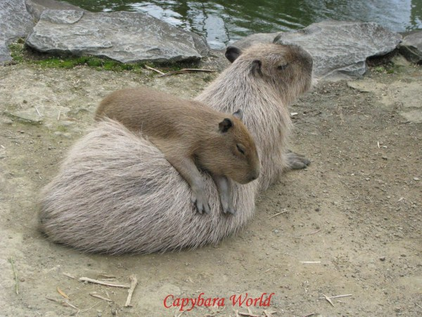 Sleepy Capybara says: Donate!