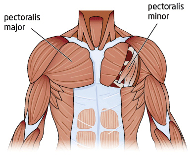 chest muscles diagram