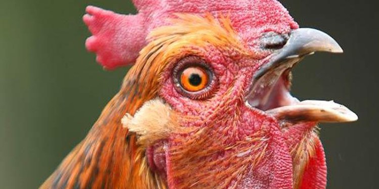 chicken-clucking